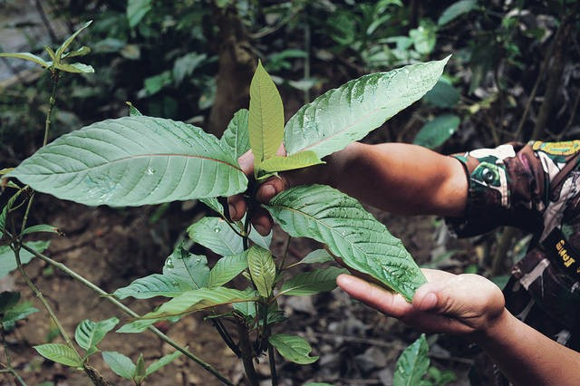 How to Grow Kratom Plants at Home