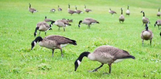 How to Keep Geese Away All You Should Know
